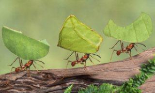 formiche tagliafoglie