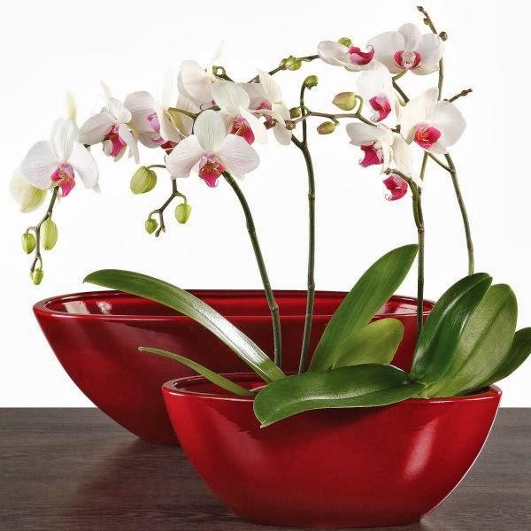 Preziosa e delicata l orchidea for Orchidee in casa