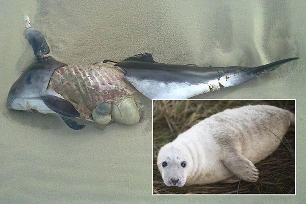 Foche, dopo gli stupri dei pinguini anche gli omicidi seriali delle focene