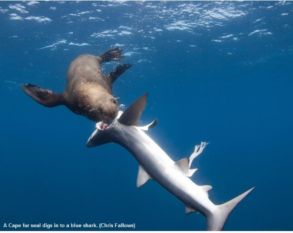 Qualcosa di inaspettato ed eccezionale: otarie che predano e poi mangiano squali