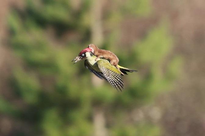 Una donnola vola  sul dorso di un picchio