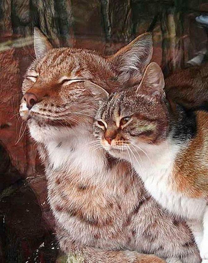 Gatto rubacchia nelle Zoo e diventa amico di una lince
