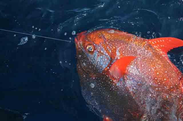 I ricercatori rivelano il primo pesce a sangue caldo