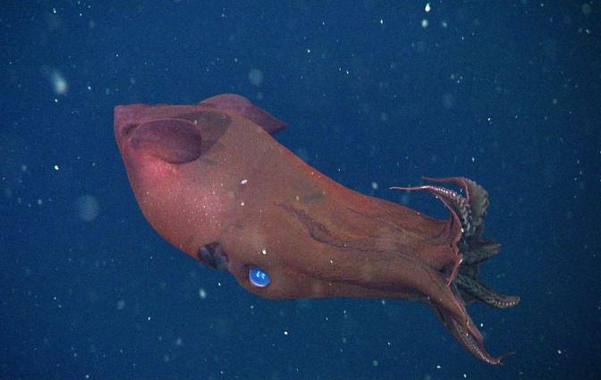 Il calamaro vampiro non è un calamaro, e vive di più degli altri cefalopodi (FOTOGALLERY)