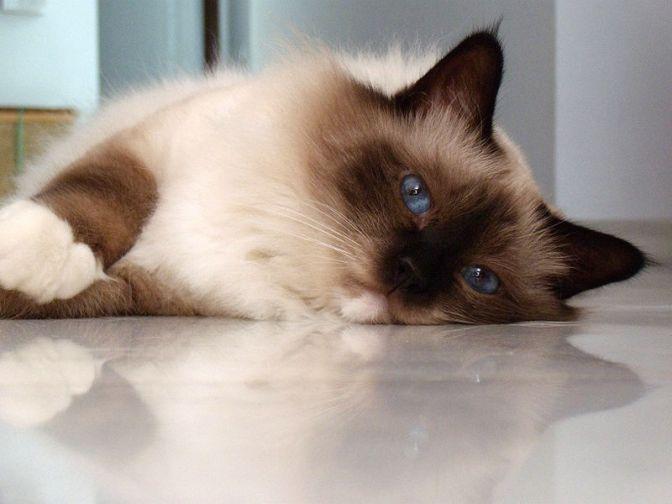 Come possono essere causate le crisi epilettiche in un gatto