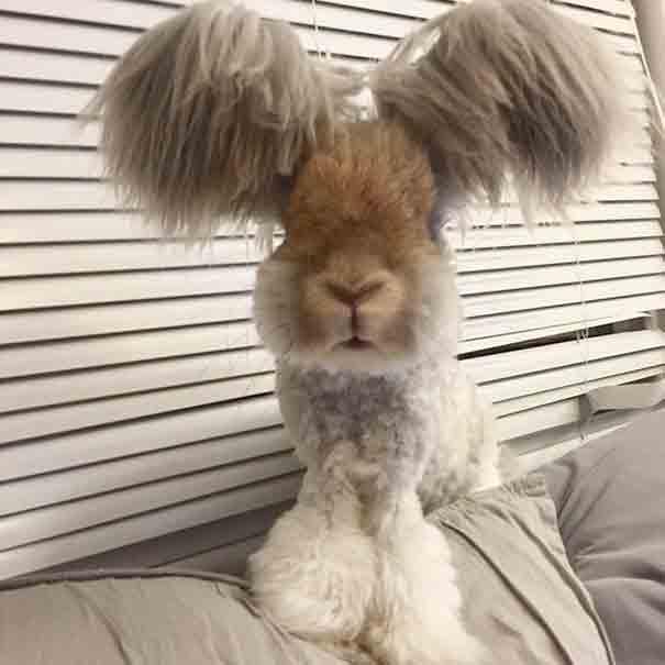 Incontra Wally, il coniglio con le orecchie che sembrano ali di un angelo